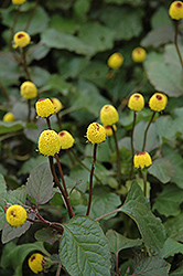 Para Cress (Spilanthes oleracea) at Longfellow's Greenhouses