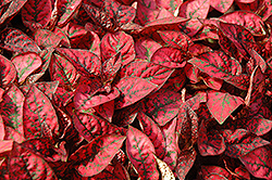 Splash Select Red Polka Dot Plant (Hypoestes phyllostachya 'Splash Select Red') at Longfellow's Greenhouses