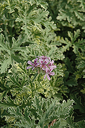 Lady Plymouth Geranium (Pelargonium 'Lady Plymouth') at Longfellow's Greenhouses