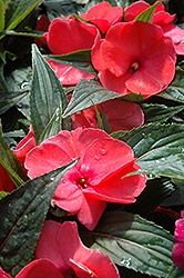 Magnum Hot Pink New Guinea Impatiens (Impatiens 'Magnum Hot Pink') at Longfellow's Greenhouses