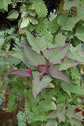 Tricolor Sweet Potato Vine (Ipomoea batatas 'Tricolor') at Longfellow's Greenhouses