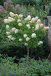 Limelight Hydrangea (tree form) (Hydrangea paniculata 'Limelight (tree form)') at Longfellow's Greenhouses
