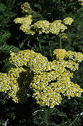 Sunny Seduction Yarrow (Achillea millefolium 'Sunny Seduction') at Longfellow's Greenhouses
