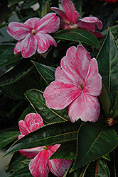 Sonic® Magic Pink New Guinea Impatiens (Impatiens 'Sonic Magic Pink') at Longfellow's Greenhouses