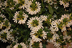 Whirlwind® White Fan Flower (Scaevola aemula 'Whirlwind White') at Longfellow's Greenhouses