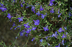 Techno® Heat Dark Blue Lobelia (Lobelia erinus 'Techno Heat Dark Blue') at Longfellow's Greenhouses