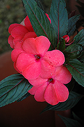 Magnum Salmon New Guinea Impatiens (Impatiens 'Magnum Salmon') at Longfellow's Greenhouses