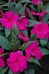 Magnum Blue New Guinea Impatiens (Impatiens 'Magnum Blue') at Longfellow's Greenhouses