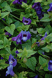 Summer Wave® Blue Torenia (Torenia 'Summer Wave Blue') at Longfellow's Greenhouses