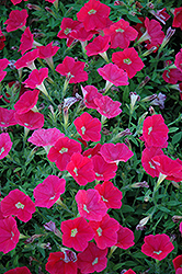 Shock Wave Coral Crush Petunia (Petunia 'Shock Wave Coral Crush') at Longfellow's Greenhouses
