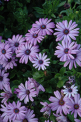 Akila® Lavender Shades African Daisy (Osteospermum ecklonis 'Akila Lavender Shades') at Longfellow's Greenhouses