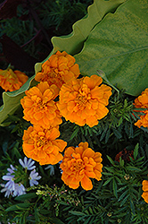 Durango Orange Marigold (Tagetes patula 'Durango Orange') at Longfellow's Greenhouses