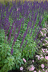 Mystic Spires Blue Sage (Salvia 'Balsalmisp') at Longfellow's Greenhouses