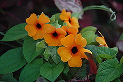 Sunny Susy Red Orange Black-Eyed Susan (Thunbergia alata 'Sunny Susy Red Orange') at Longfellow's Greenhouses