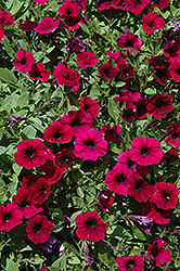 Shock Wave Deep Purple Petunia (Petunia 'Shock Wave Deep Purple') at Longfellow's Greenhouses