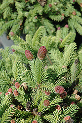 Pusch Spruce (Picea abies 'Pusch') at Longfellow's Greenhouses