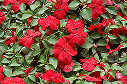 Super Elfin® XP Red Impatiens (Impatiens walleriana 'Super Elfin XP Red') at Longfellow's Greenhouses