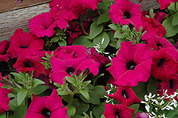 Supertunia® Royal Magenta™ Petunia (Petunia 'Supertunia Royal Magenta') at Longfellow's Greenhouses