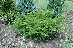 Sea Green Juniper (Juniperus chinensis 'Sea Green') at Longfellow's Greenhouses
