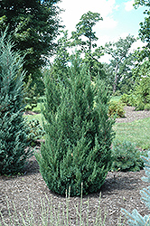 Blue Point Juniper (Juniperus chinensis 'Blue Point') at Longfellow's Greenhouses