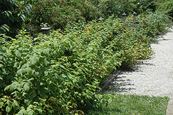 Heritage Raspberry (Rubus 'Heritage') at Longfellow's Greenhouses