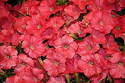 Easy Wave Coral Reef Petunia (Petunia 'Easy Wave Coral Reef') at Longfellow's Greenhouses