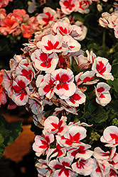 Americana® White Splash Geranium (Pelargonium 'Americana White Splash') at Longfellow's Greenhouses