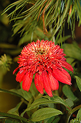 Double Scoop™ Cranberry Coneflower (Echinacea 'Balscanery') at Longfellow's Greenhouses