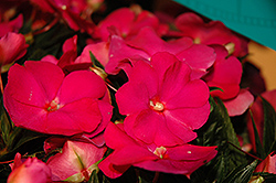 Super Sonic Hot Pink New Guinea Impatiens (Impatiens hawkeri 'Super Sonic Hot Pink') at Longfellow's Greenhouses