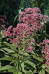 Gateway Joe Pye Weed (Eupatorium maculatum 'Gateway') at Longfellow's Greenhouses