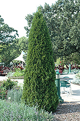 Emerald Green Arborvitae (Thuja occidentalis 'Smaragd') at Longfellow's Greenhouses