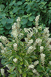 Hummingbird Summersweet (Clethra alnifolia 'Hummingbird') at Longfellow's Greenhouses