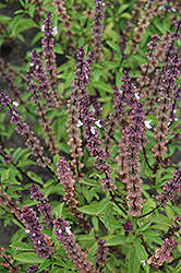 Thai Basil (Ocimum basilicum 'Thai') at Longfellow's Greenhouses