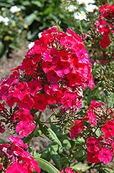 Red Flame Garden Phlox (Phlox paniculata 'Red Flame') at Longfellow's Greenhouses