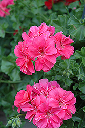 Precision Salmon Ivy Leaf Geranium (Pelargonium peltatum 'Precision Salmon') at Longfellow's Greenhouses