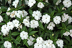 Divine™ White New Guinea Impatiens (Impatiens hawkeri 'Divine White') at Longfellow's Greenhouses