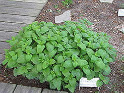 Lemon Balm (Melissa officinalis) at Longfellow's Greenhouses