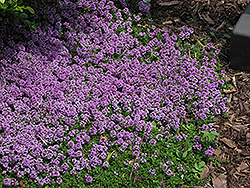 Purple Carpet Creeping Thyme (Thymus praecox 'Purple Carpet') at Longfellow's Greenhouses