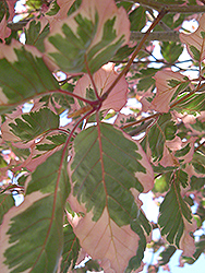 Tricolor Beech (Fagus sylvatica 'Tricolor') at Longfellow's Greenhouses