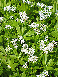 Sweet Woodruff (Galium odoratum) at Longfellow's Greenhouses