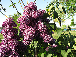 Monge Lilac (Syringa vulgaris 'Monge') at Longfellow's Greenhouses