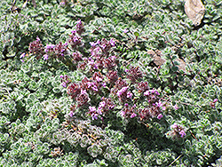 Wooly Thyme (Thymus pseudolanuginosis) at Longfellow's Greenhouses