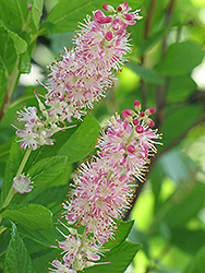 Ruby Spice Summersweet (Clethra alnifolia 'Ruby Spice') at Longfellow's Greenhouses