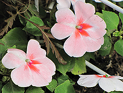 Super Elfin® XP Salmon Splash Impatiens (Impatiens walleriana 'Super Elfin XP Salmon Splash') at Longfellow's Greenhouses
