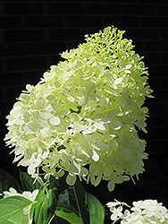 Limelight Hydrangea (Hydrangea paniculata 'Limelight') at Longfellow's Greenhouses