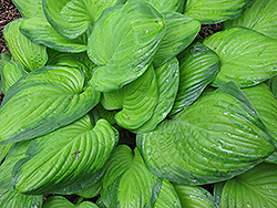 Guacamole Hosta (Hosta 'Guacamole') at Longfellow's Greenhouses