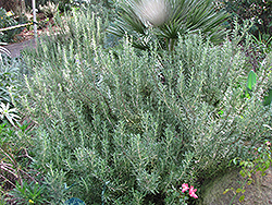Tuscan Blue Rosemary (Rosmarinus officinalis 'Tuscan Blue') at Longfellow's Greenhouses
