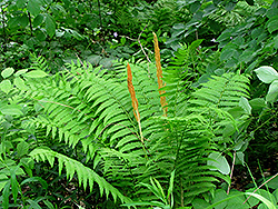 Cinnamon Fern (Osmunda cinnamomea) at Longfellow's Greenhouses