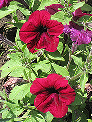 Madness Burgundy Petunia (Petunia 'Madness Burgundy') at Longfellow's Greenhouses