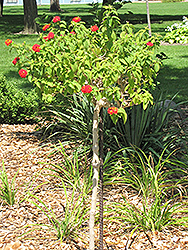 Luscious® Citrus Blend™ Lantana (tree form) (Lantana camara 'Luscious Citrus Blend (tree form)') at Longfellow's Greenhouses